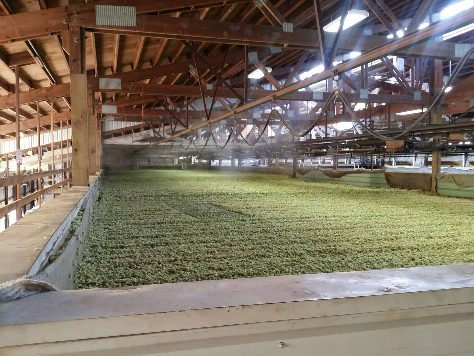 Hops being dried by a new C. J. Hansen Co., Inc. hops dryer